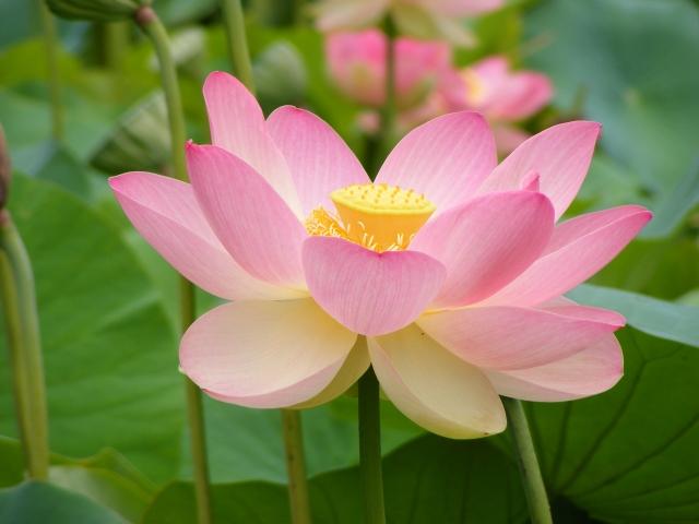 Nelumno_nucifera_open_flower_-_botanic_garden_adelaide.jpg